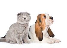 Chiot gris de chien de chaton et de basset recherchant D'isolement sur le blanc Image stock
