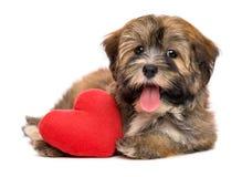 Chiot havanese de valentine heureuse mignonne avec un coeur rouge Photos stock