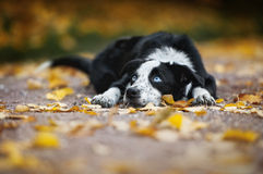 Chiot heureux border collie Photo libre de droits