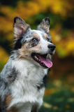 Chiot heureux border collie Photos libres de droits