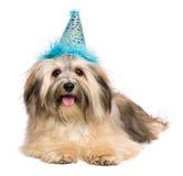Chiot heureux de Bichon Havanese dans un chapeau bleu de partie Images stock