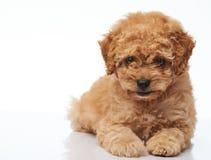 Chiot heureux de chien de caniche Photo stock