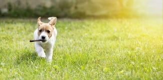 Chiot heureux de chien fonctionnant avec un bâton Images libres de droits