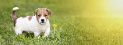 Chiot heureux de chien marchant dans l'herbe Photos stock