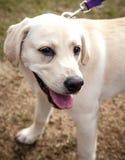 Chiot heureux de Labrador marchant sur une laisse Photographie stock
