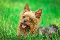 Chiot heureux de terrier de Yorkshire haletant dans l'herbe Photo stock