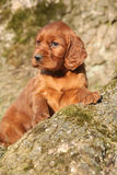 Chiot irlandais de poseur rouge en nature Images stock