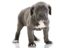 chiot italien de mastiff de corso de canne Images stock