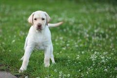 Chiot jaune de chiens d'arrêt de Labrador dans une herbe verte Photos stock