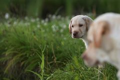 Chiot jaune de chiens d'arrêt de Labrador dans une herbe verte Image stock