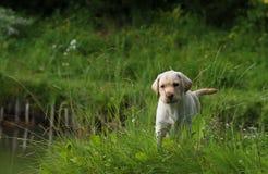 chiot jaune de chiens d'arrêt de Labrador dans une herbe verte avec de longs penchants Images libres de droits