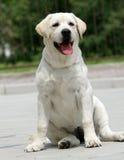 Chiot jaune de Labrador Photos libres de droits