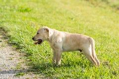 Chiot jaune de Labrador baîllant fatigué Images stock