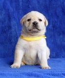 Chiot jaune fier de Labrador s'étendant sur le fond bleu Image stock