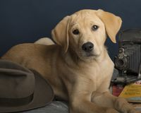 Chiot jaune mignon de labrador retriever photo libre de droits