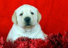 Chiot jaune neuf de Labrador d'an (Noël) Photo libre de droits