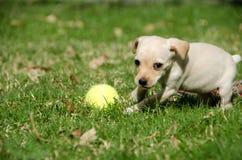 Chiot jouant avec de la balle de tennis photo libre de droits