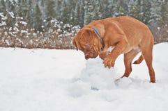 Chiot jouant avec la bille de neige Photos libres de droits