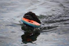 Chiot jouant dans l'eau avec un jouet Photos stock
