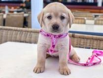 Chiot Labrador Photo stock