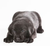 Chiot Labrador sur un fond blanc photos stock
