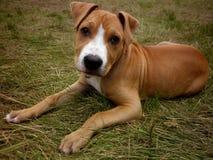 Chiot le Staffordshire de chien Images libres de droits