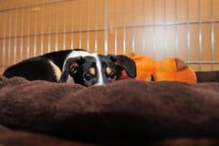 Chiot lisse de colley hidding dans l'oreiller Photo libre de droits