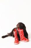 Chiot mâchant sur les bottes en caoutchouc rouges sur un fond blanc Images stock