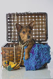 Chiot mélangé mignon de Terrier de race Image libre de droits