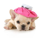 Chiot malade Photo stock