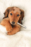 Chiot malade Photographie stock