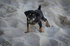 Chiot marchant sur le sable Photographie stock