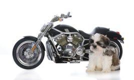 chiot masculin de tzu de shih se reposant près de la moto Photo libre de droits