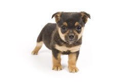 chiot mignon Photo stock