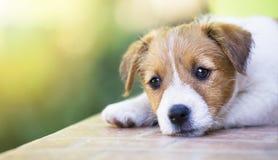 Chiot mignon adorable d'animal familier pensant - poursuivez le concept de thérapie image stock