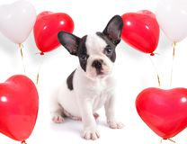 Chiot mignon avec des ballons de forme de coeur Image libre de droits