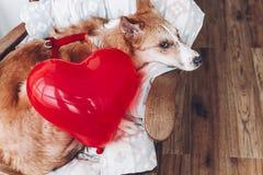 Chiot mignon avec le coeur rouge Concept heureux de jour du ` s de Valentine WI de chien Photo stock