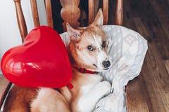 Chiot mignon avec le coeur rouge Concept heureux de jour du ` s de Valentine WI de chien Photographie stock libre de droits