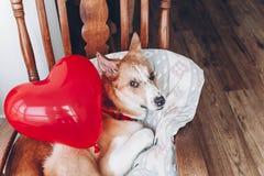 Chiot mignon avec le coeur rouge Concept heureux de jour du ` s de Valentine WI de chien Image libre de droits