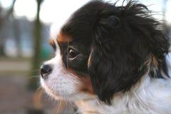 Chiot mignon - chiot cavalier d'épagneul de roi Charles en parc Image stock