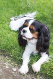 Chiot mignon - chiot tricolore cavalier d'épagneul de roi Charles en parc Photographie stock libre de droits