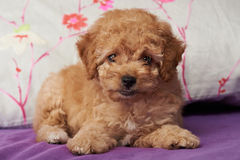Chiot mignon de caniche de Brown Photographie stock