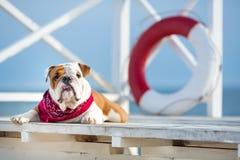 Chiot mignon de chien anglais de taureau avec le bandana drôle de visage et de rouge sur le cou près du vagabond rond bouy de sau Photos stock