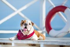 Chiot mignon de chien anglais de taureau avec le bandana drôle de visage et de rouge sur le cou près du vagabond rond bouy de sau Photographie stock libre de droits