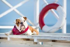 Chiot mignon de chien anglais de taureau avec le bandana drôle de visage et de rouge sur le cou près du vagabond rond bouy de sau Image stock