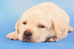 Chiot mignon de chien d'arrêt de Labrador Photographie stock