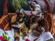 Chiot mignon de chien de traîneau sibérien caressant le chaton mignon Photo libre de droits
