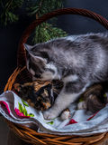 Chiot mignon de chien de traîneau sibérien caressant le chaton mignon Photographie stock