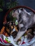 Chiot mignon de chien de traîneau sibérien caressant le chaton mignon Photographie stock libre de droits