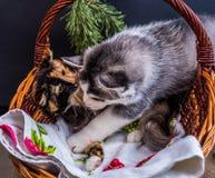 Chiot mignon de chien de traîneau sibérien caressant le chaton mignon Photo stock
